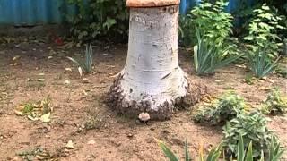 В садике Севастополя растут ядовитые грибы(, 2013-10-11T07:01:33.000Z)