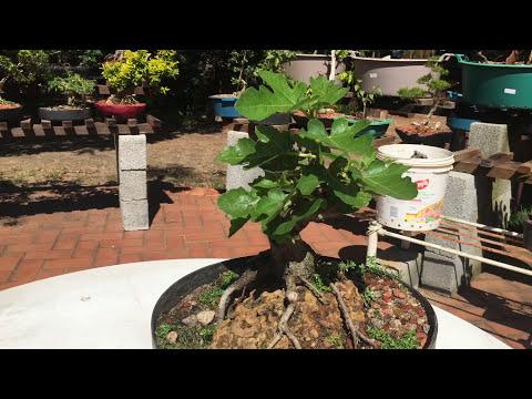 🍁resultado-da-poda-drÁstica-no-prÉ-bonsai-de-figo-🍁万