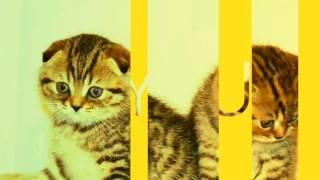 Эксклюзивные Шотландские котята Тигрята