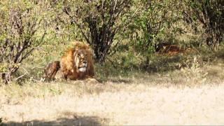 Lion in the Masai Mara, Africa