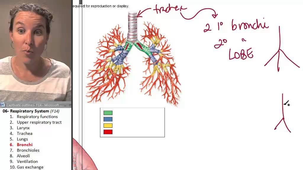 the Bronchus (Respiratory System) ☆ Human Anatomy Course - YouTube