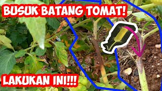 Download lagu Pengendalian Busuk Batang Tomat | Tomato Pith Necrosis | Pengendalian Pseudomonas corrugata