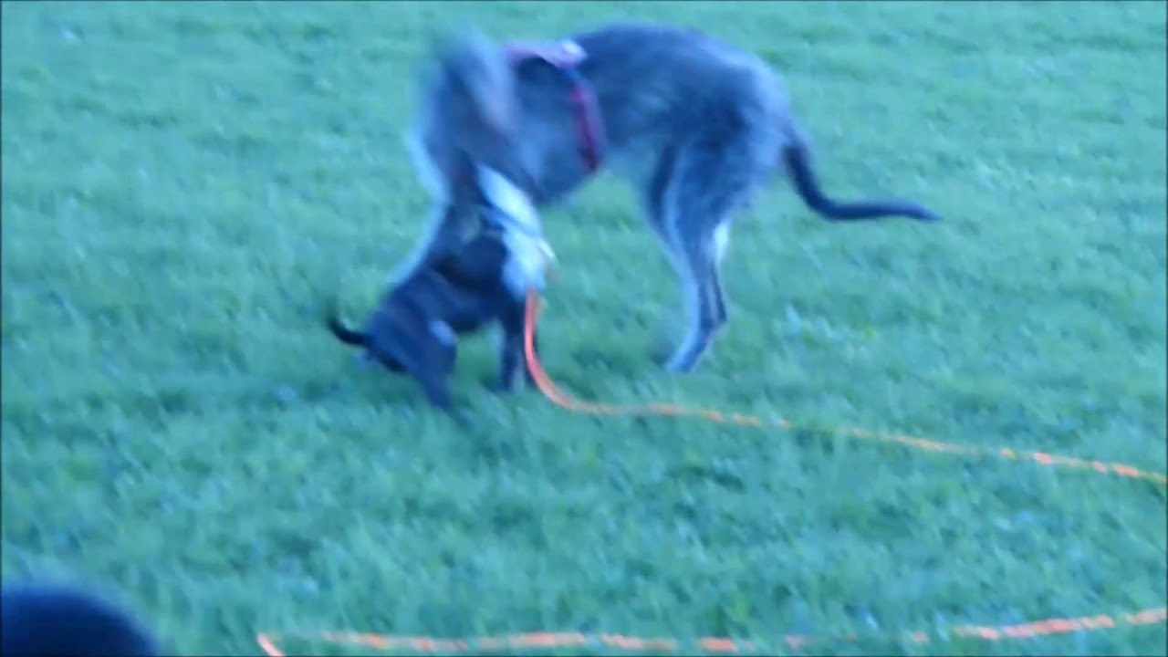 berner sennenhund labrador