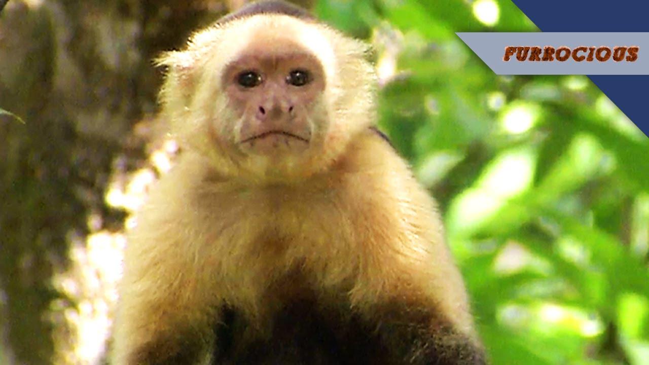Capuchin Monkeys Are Divas Who Throw Poop Youtube
