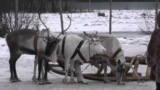 Оленья ферма «Северный олень»