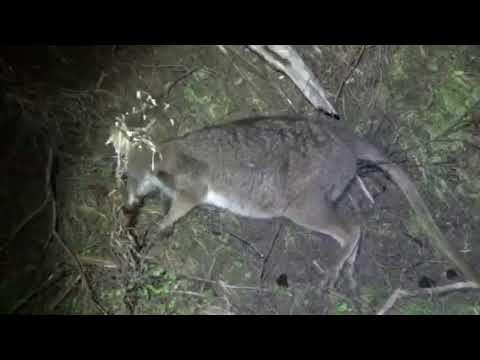 Wallaby Culling Kawau Island Youtube