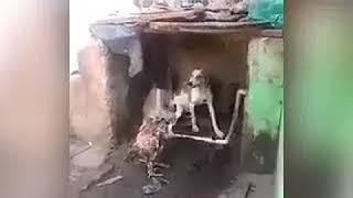 СМЕРТНЫЙ БОЙ  ПЕТУХА  С ЖУЧКОЙ