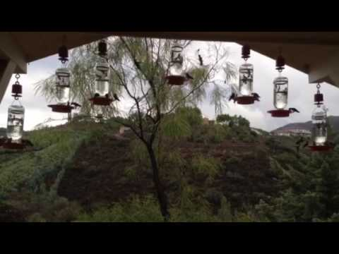 Hummingbirds in the Apiary