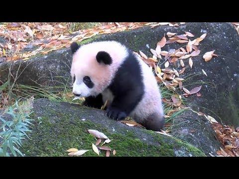 もうすぐ公開、赤ちゃんパンダ「シャンシャン」=19日から