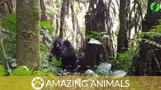 Intense Stare Down With Wild Gorillas