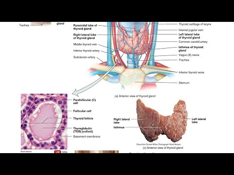Thyroid Gland Anatomy And Histology Youtube