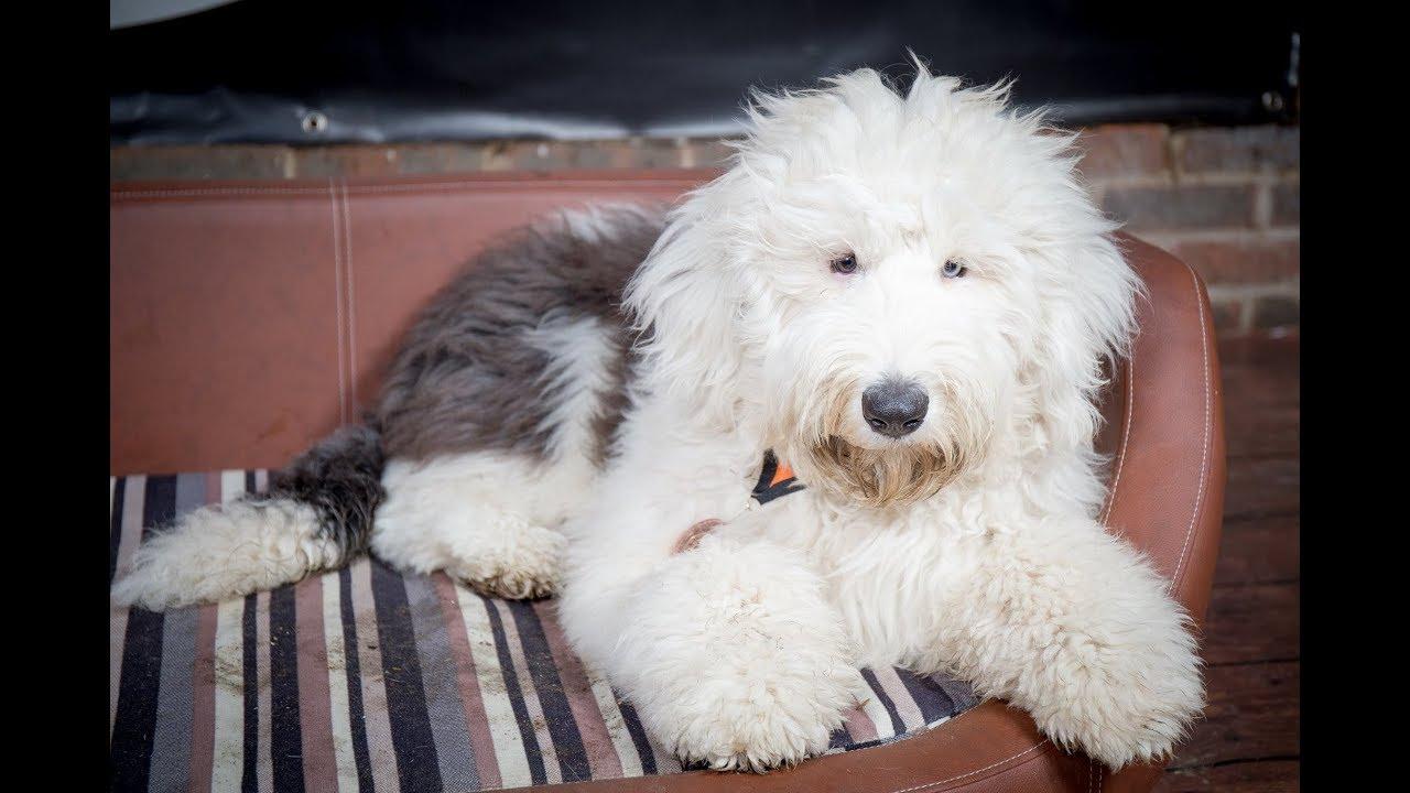 Bismarck - Old English Sheepdog Puppy - 2 Weeks Residential Dog Training