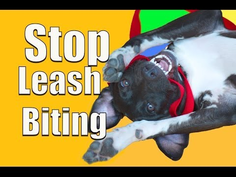 how-to-stop-puppy-biting-on-a-leash!