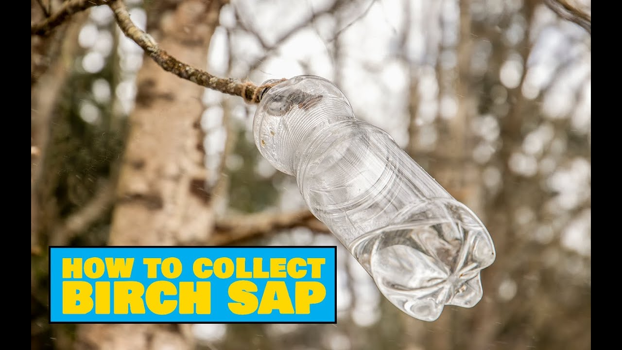How to Collect Birch Sap from a Branch / Kuidas koguda kasemahla oksast - Easy Outdoors Cooking