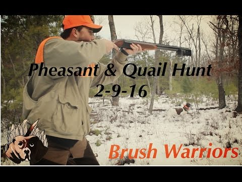 Action Packed Pheasant And Quail Hunt German Shorthair
