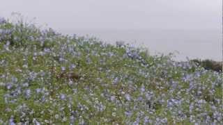 国営ひたち海浜公園 ネモフィラの丘 2012.5.4. ネモフィラの丘 検索動画 21