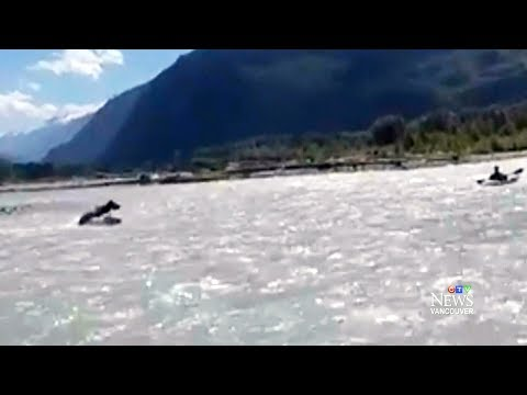 Bear charges at kayaker in river near Squamish, B.C.