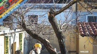 Potatura albicocco con Ernesto (potatura di ripristino di un vecchio albicocco semi abbandonato) 4k