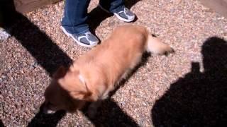 Meet Mixer A Pomeranian Currently Available For Adoption At Petango.com! 3/28/2012 10:00:18 Am