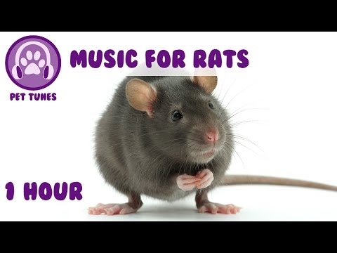 Music for rats - Relaxing music to help your rat calm down and sleep