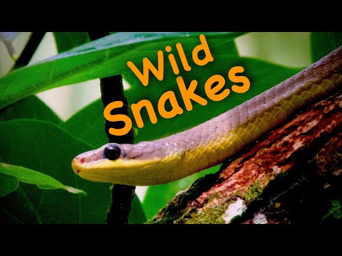 Finding Wild SNAKES: Venomous Snake AND Bees Almost Got ME! Snake Video