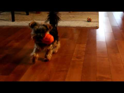 Agent the teacup yorkie plays fetch