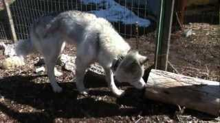 Siberian Husky for Adoption: Michyla