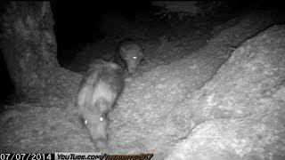 Gece Doğa Gözlemi Yaban Domuzu 1 (  Wild Boars in Turkey ) 2014