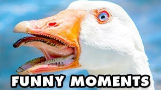 Untitled Goose Game Funny Moments Montage!
