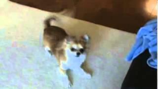 愛犬けりる(ケリー)の動画です。おやつなしでも芸をします。ロングコー...