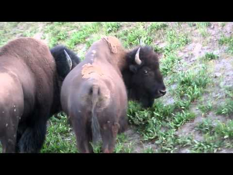 Buffalo Roaming in Yellowstone Park. (Hayden Valley)