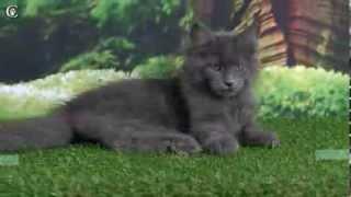 Видео котенка мейн-кун, голубой солид, Muffin Grey Claw`s в 3 месяца http://coonplanet.ru/