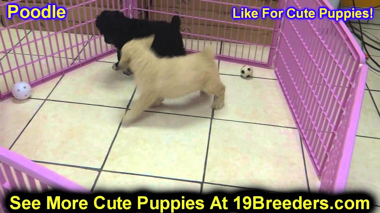Standard Poodle, Puppies, Dogs, For Sale, In Chicago, Illinois, IL,  19Breeders, Rockford, Naperville