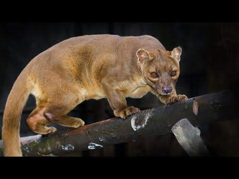 Фосса — лев с Мадагаскара, который подчинил себе весь остров (+видео)