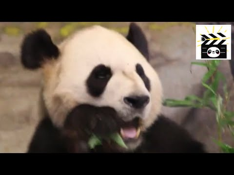Giant panda montage: pandas eating bamboo in three locations