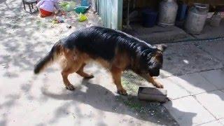 Смех: Овчарка ест полено, лает, злится, веселит.Laugh: the Dog is eating sticks, bark, angry, funny.(Наш веселый кобель Рейн неугомонный и забавный. Он всегда найдет чем себя занять. Играет поленом, колесом,..., 2016-01-03T14:23:25.000Z)
