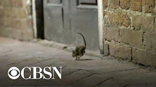 "CDC warns about ""aggressive"" rats as coronavirus shuts down restaurants"