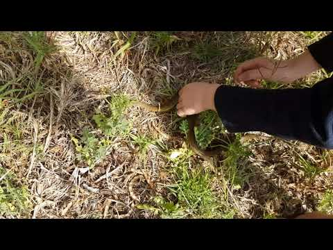 """""""Herald"""" Red lipped snake release - Montagu Western Cape South Africa - 11 Sept 2017"""