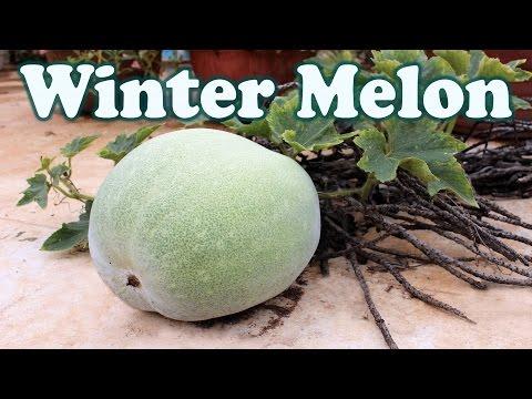Winter Melon (Ash Gourd) - A Surprise In Terrace Garden