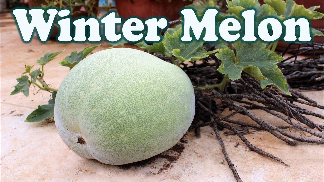 winter melon ash gourd a surprise in terrace garden youtube