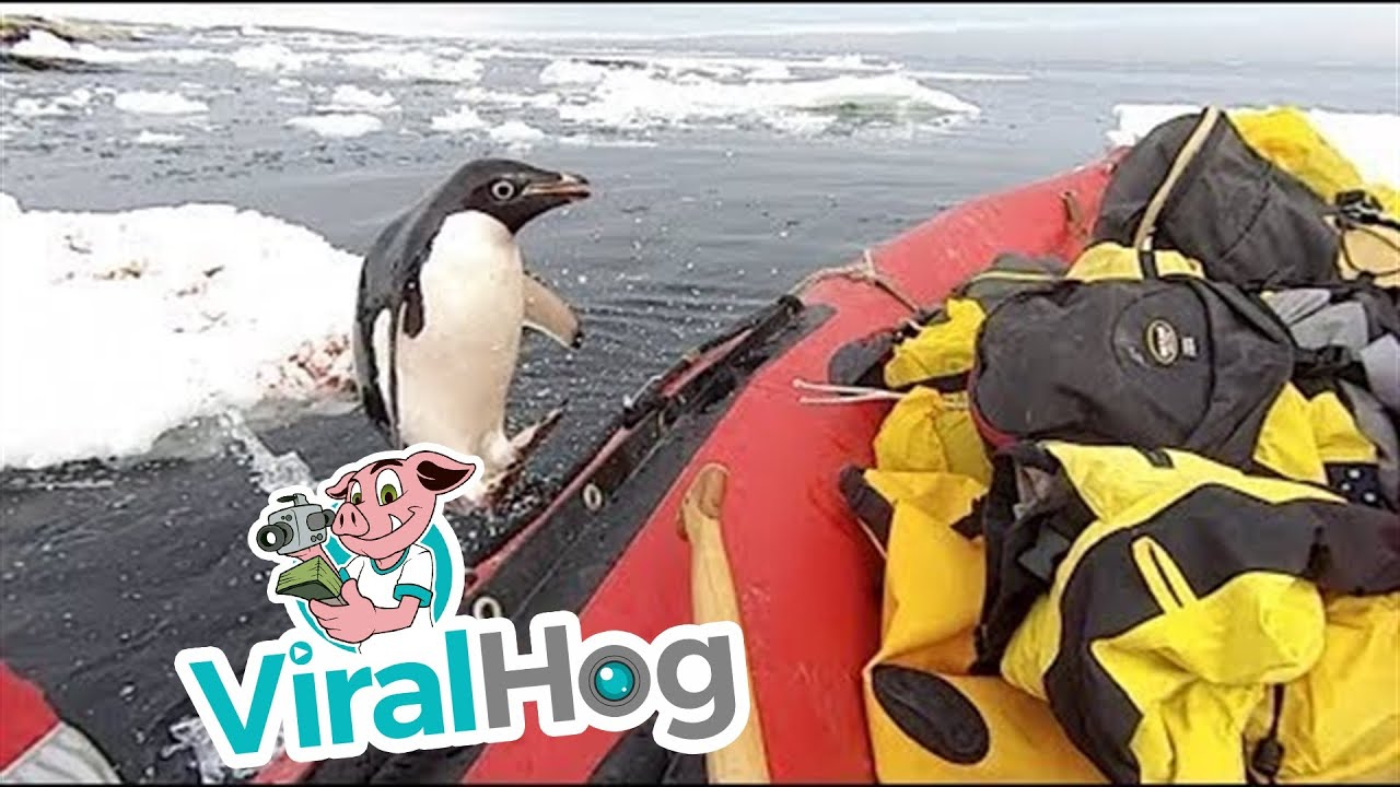 Penguin Jumps on Board Research Boat to Say Hello