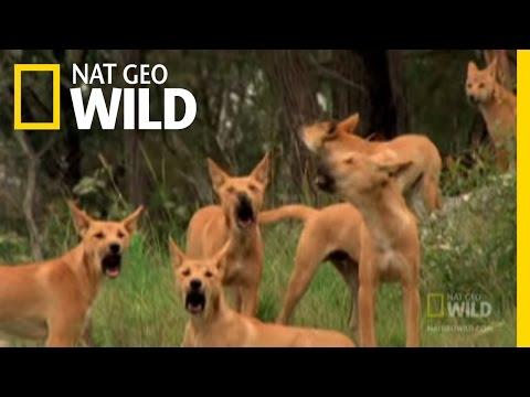 Dingo Fast Food | Nat Geo Wild