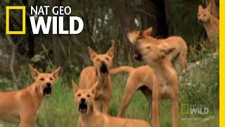 Dingo Fast Food | Nat Geo Wild YouTube Videos