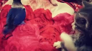 Попугай неразлучник Федя танцует для кота Дымка