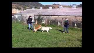 Désensibilisation chien agressif envers ses congénères.