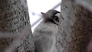 Hairy Woodpecker  singing