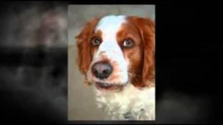 Welsh Springer Spaniel Breed Guide
