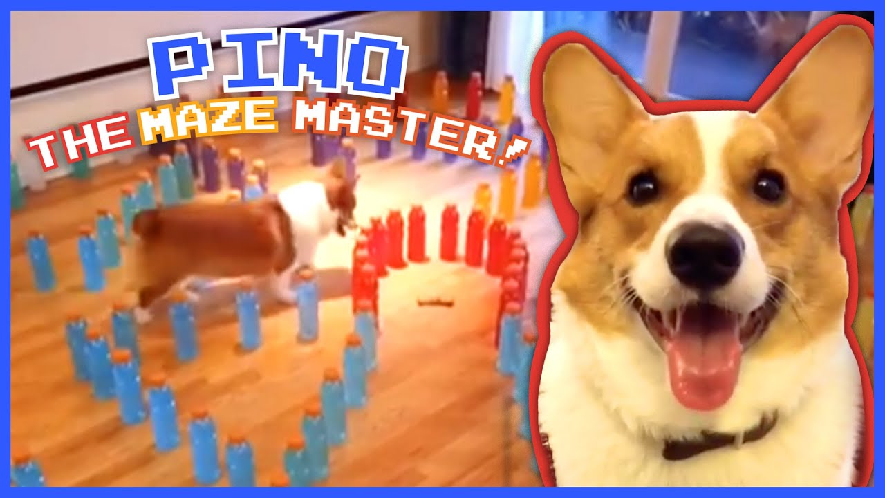 Pino the Pup Is A Maze Master | Animal Videos for Kids | Dodo Kids