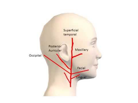 External Carotid Artery and Its Branches.wmv - YouTube