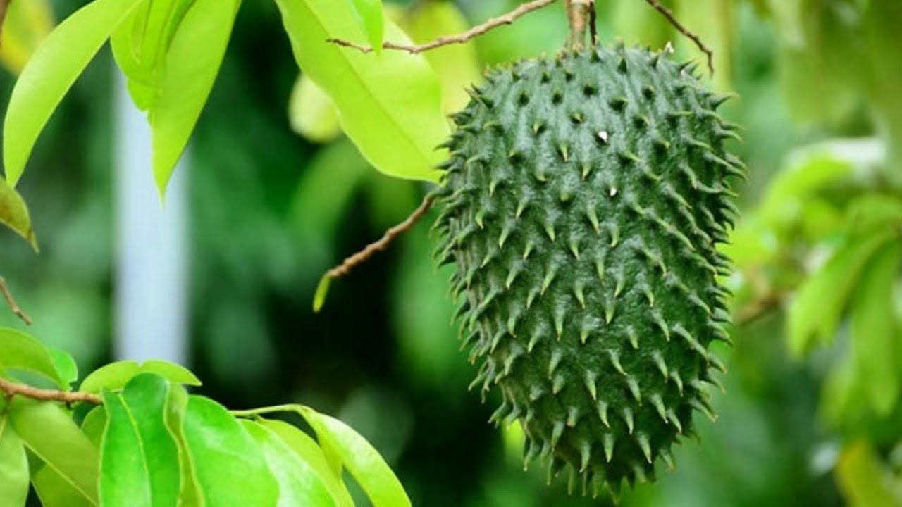 5 Health Benefits of Soursop Leaves • Connect Nigeria   Soursop Leaves